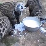 アフリカジャコウネコのミルクの飲み方がワイルド過ぎて、逆に可愛い。